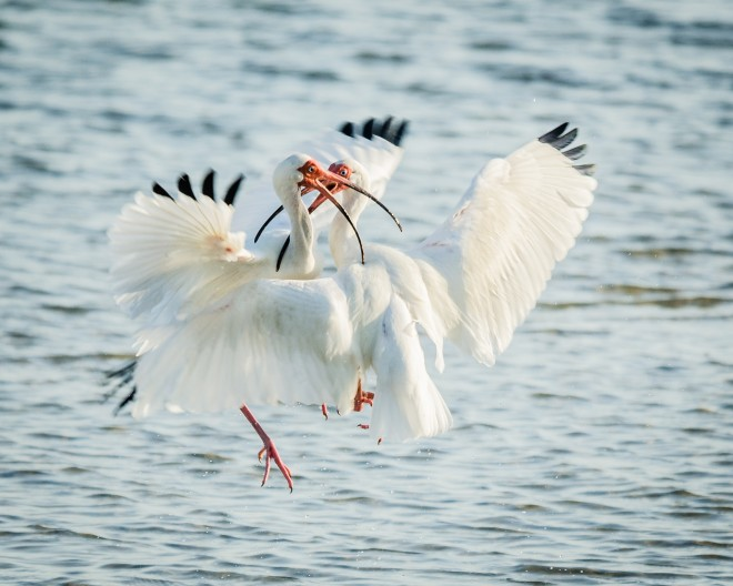 Fighting-White-Ibis-1-of-1
