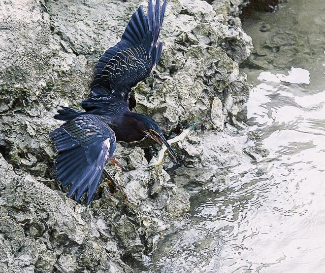 Green-Heron-Catches-Needle-Fish