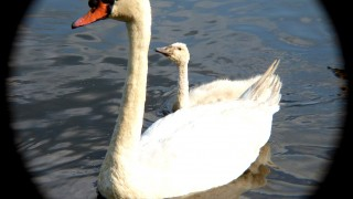 Mother-with-Cygnet-BWD