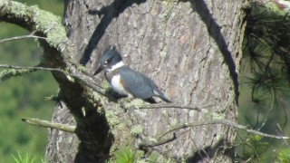 Mr.-Kingfisher