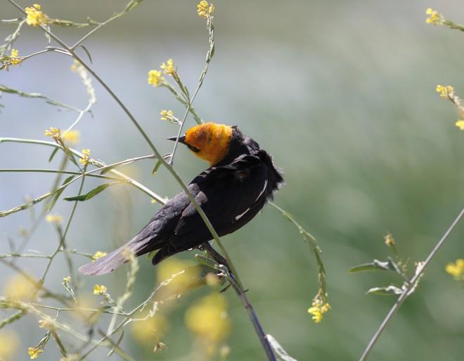 Yellow-headed-Blackbird-Lake-Skinner_8554