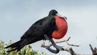 cortez-frig.-birds-0795-1