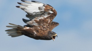 Ferruginous Hawk in Box Elder County, Utah, by miam.