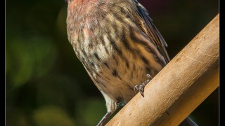 house_finch9