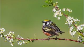tn_Chestnut-sided-Warbler_2462-1