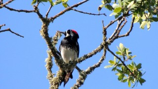 Acorn-Woodpecker1