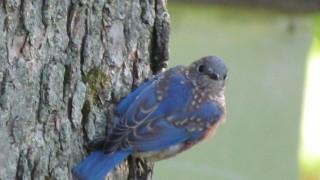 Bluebird-Junior-Jamesville
