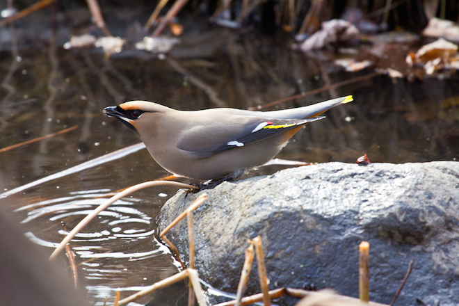 How habitat created by neighbors brought warblers, waxwings, and other birds to Laura Erickson's yard