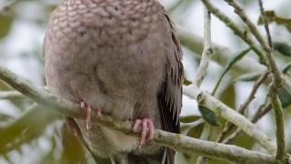 DSC0033-Common-Ground-Dove