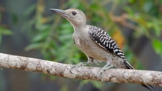 DSC0051-Red-bellied-Woodpecker