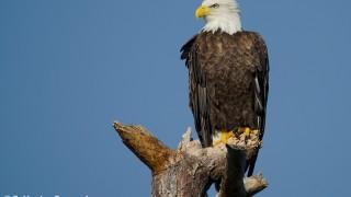 DSC0069-Bald-Eagle