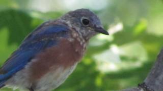 Junior-Bluebird-portrait