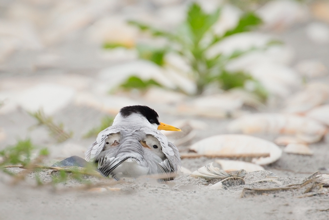 How a photographer on a New Jersey beach recorded a Least Tern's hidden treasures