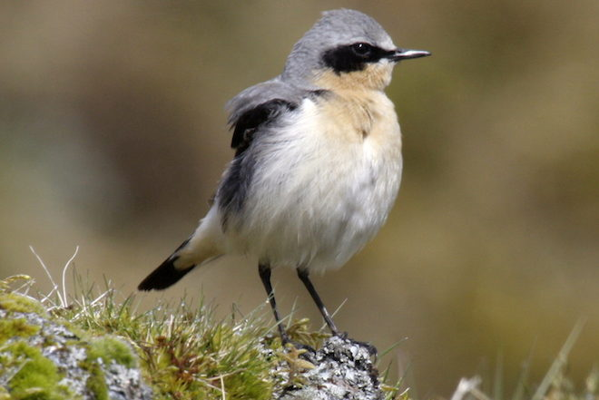 Study: For migrating Northern Wheatears and Blackpoll Warblers, success is blowing in the wind