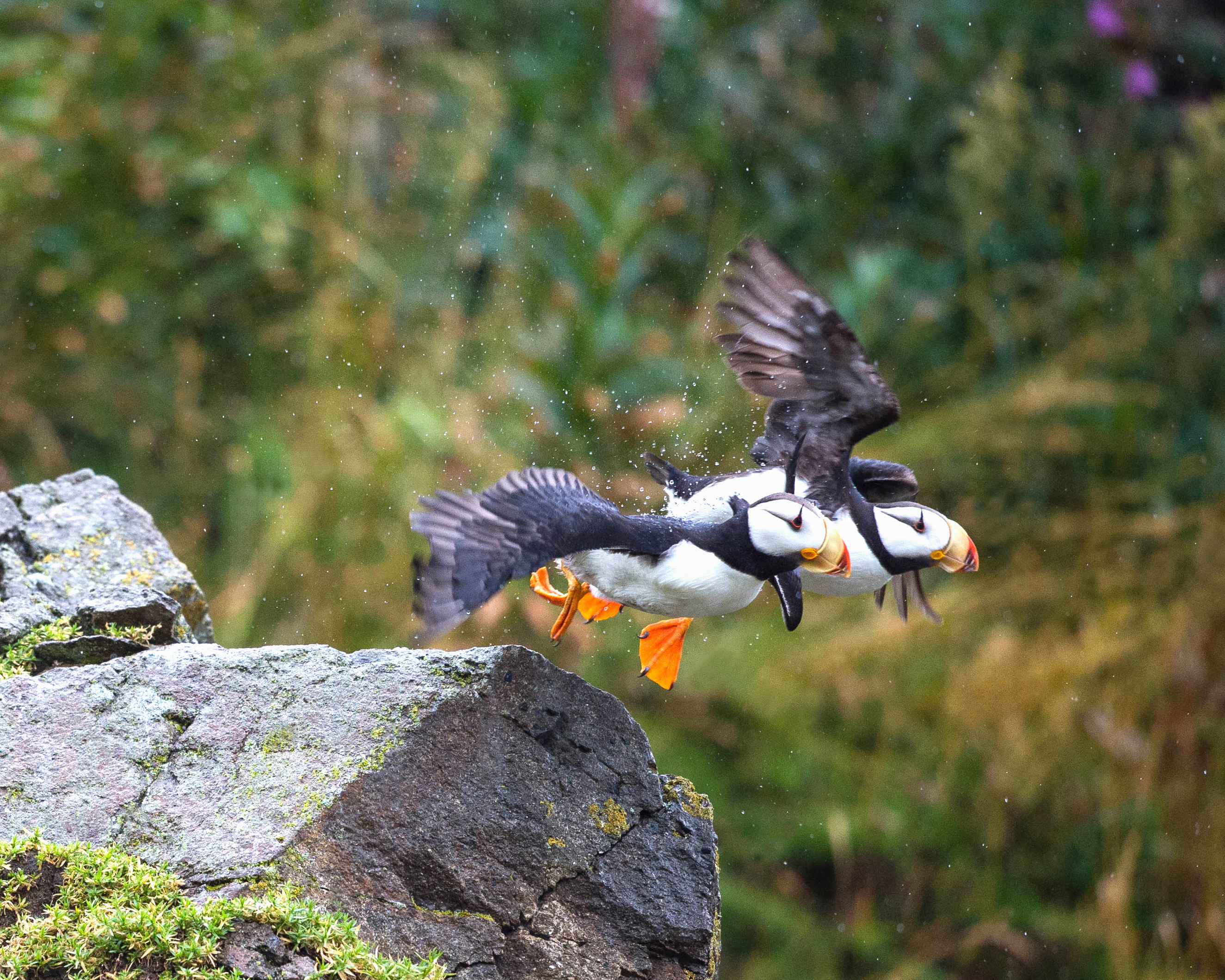Low light and steady rain lead to reader's dramatic photo of puffins taking flight