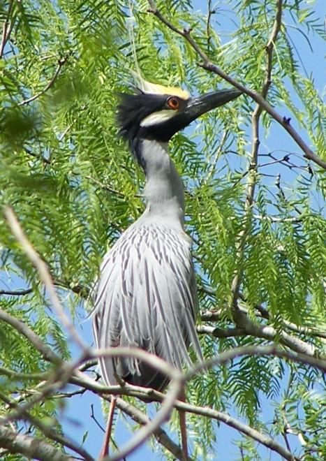 Yellow-crowned-night-heron-juvenile