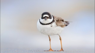 tn_Semipalmated-Plover_8847-1