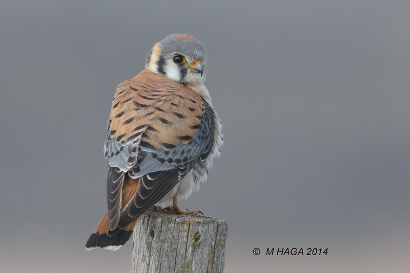 Armchair birding: Compare male and female American Kestrels