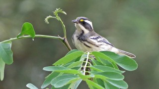 Black-Throated-Gray-Warbler-Yard-8-17-14-4-200PI