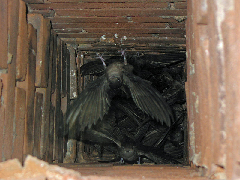 Ever fewer chimneys may force Chimney Swifts to return to large, hollow trees