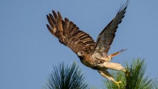 DSC0024-Red-tailed-Hawk