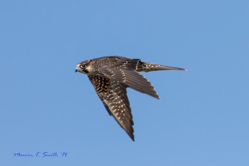 Florida hawk watch sets daily, seasonal falcon records
