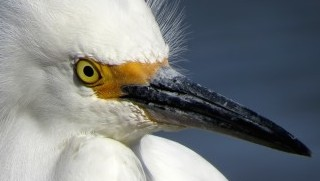 Identify egrets and herons by their colorful bills