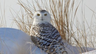 Snowy-Owl-Parker-River-NWR