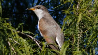 Western Yellow-billed Cuckoo listed as Threatened