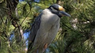 Yellow-crowned-Night-Heron-2