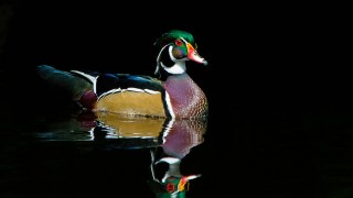 wood-ducks-greenwood-131-of-302