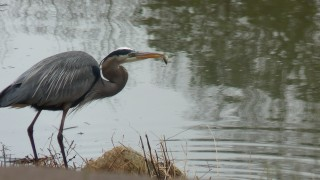 Blue-Heron-with-fish