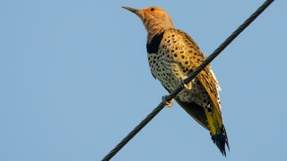 DSC0020-Nothern-Flicker