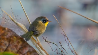 DSC0024-Common-Yellowthroat