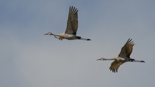 DSC0040-Sandhill-Cranes