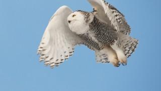 Snowy Owl in Flight 2