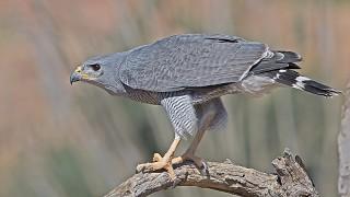 Hawk-Gray-14-0782