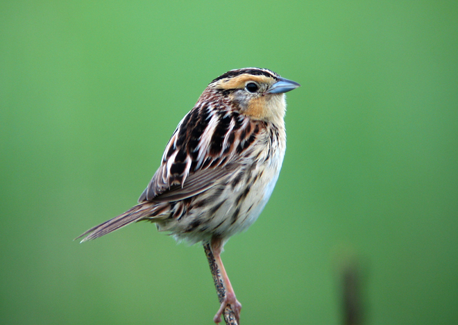A reluctant farewell to a favorite spot for Le Conte's Sparrow