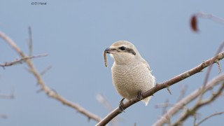 Northern-Shrike-3