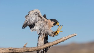Peregrine Falcon by Phillip Hardy
