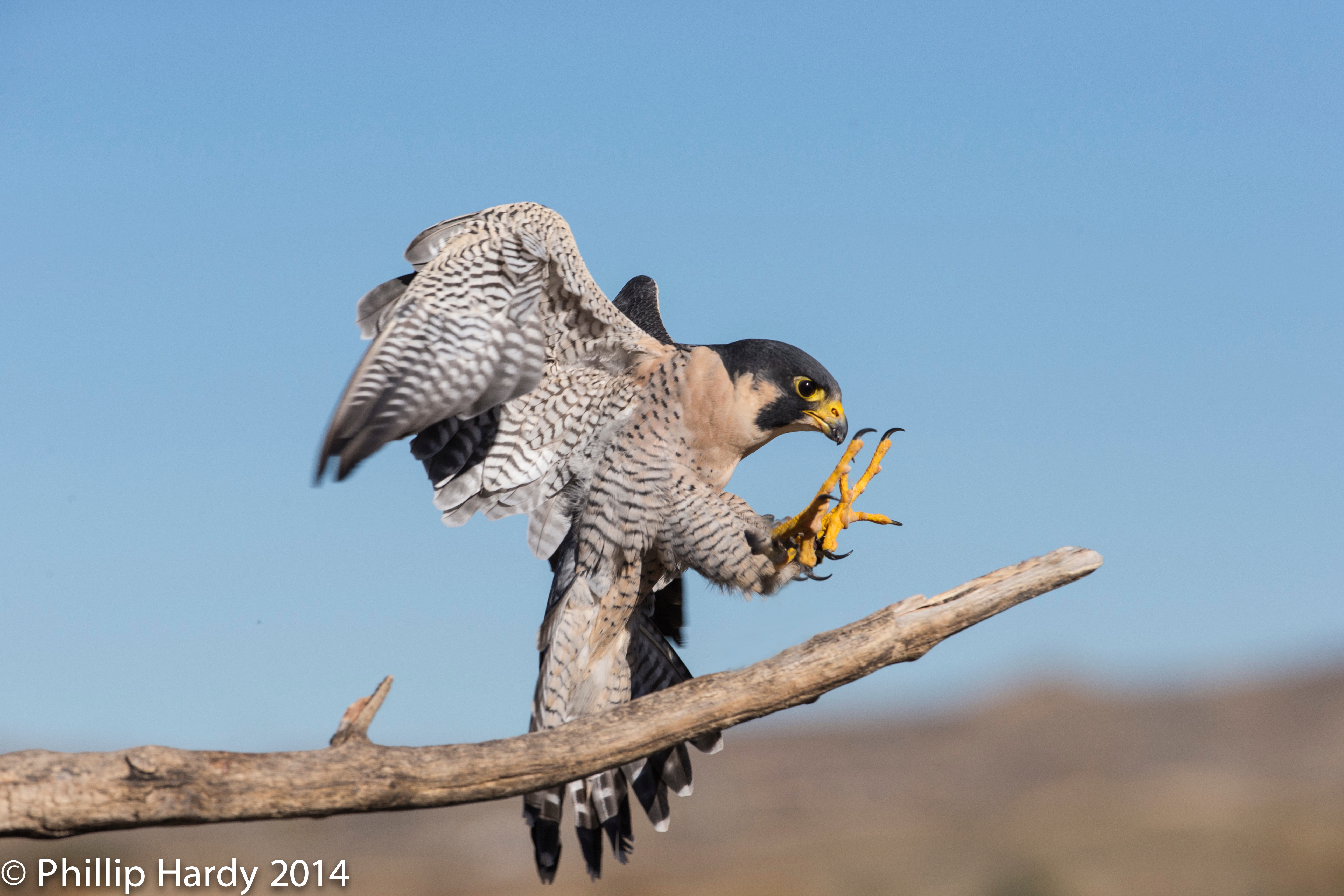 Recovery of Peregrine Falcon: A true success story