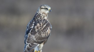 Rough-legged-Hawk-9