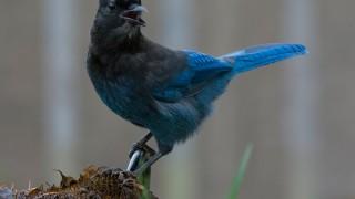 Steller's Jay ©2014 Monte Comeau