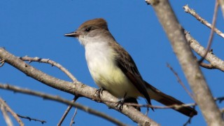 Ash-throated-Flycatcher1