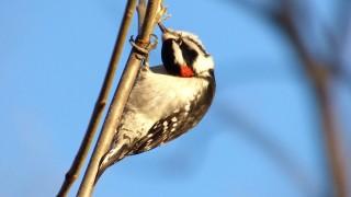Downy-Woodpecker
