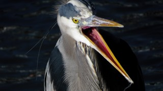 Great-Blue-Heron-Tony-Britton-2014