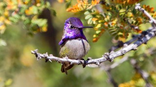IMG_2320-Male-Costas-Hummingbird