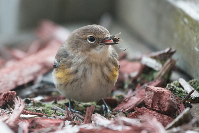 Why even a Big Year can't compete with the comforts, and the birds, of home