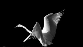 great-egret-black-and-white-20141