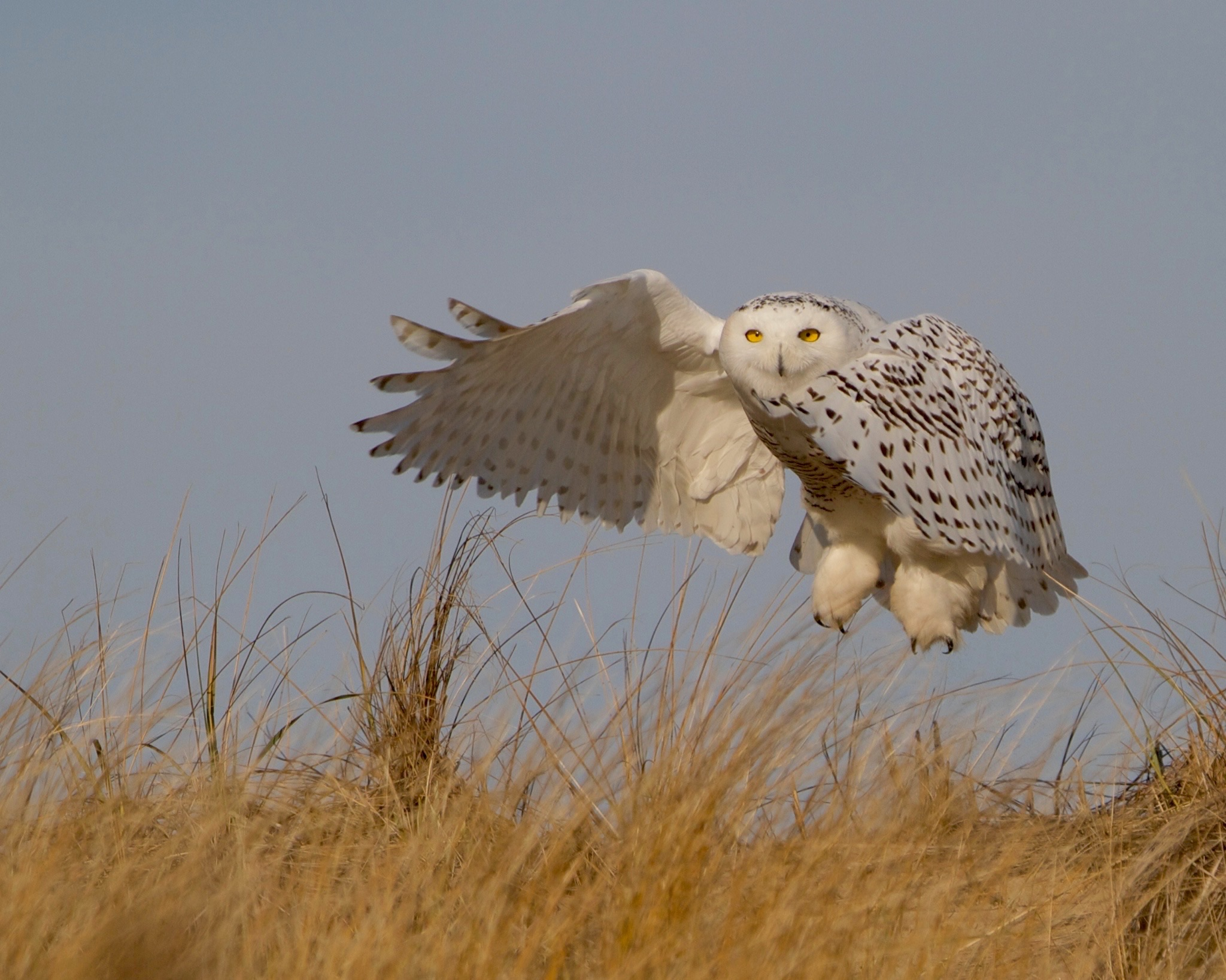 Seven Snowy Owls photographed this winter